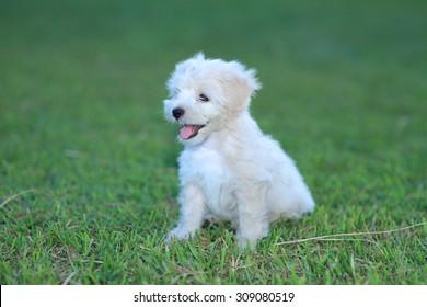 White puppy is so cute.