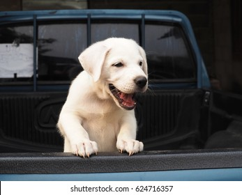 White puppy dog on the pick up truck background, puppy dog