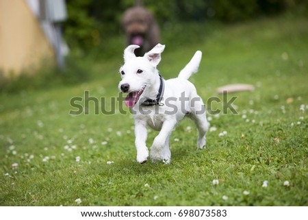 White Puppy Dog Running Like Crazy Stock Photo Edit Now 698073583
