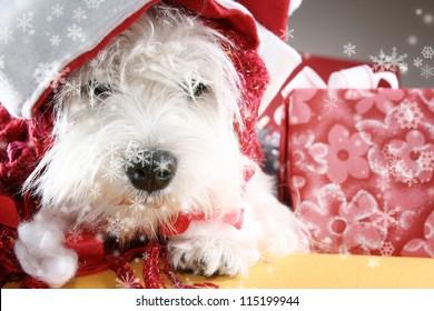 White puppy dressed in santa claus costume.