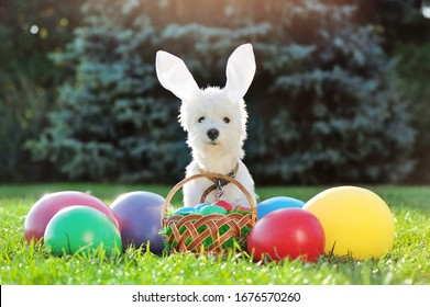 White puppy with Easter rabbit headband with decorative eggs at the lawn