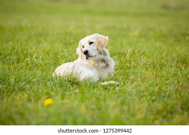 White puppy golden retriever dog lays in the middle of grass covered field.