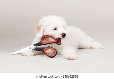 white puppy holding scissors