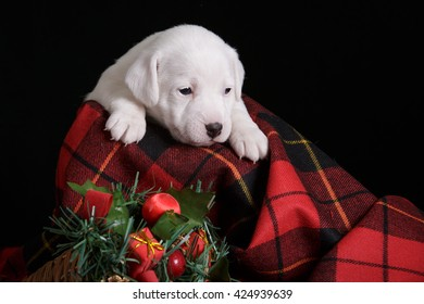 white puppy jack russell terrier on black dark background isolated on red tartan fabric with christmas decoration