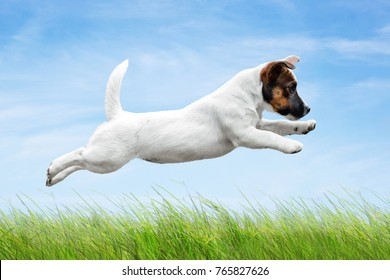 white puppy Jack Russell Terrier jumping in the grass on blue sky background