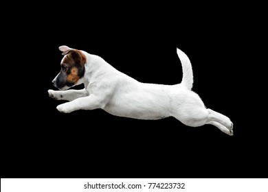 white puppy Jack Russell Terrier jumping in the black background