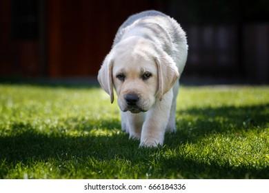 White puppy of labrador retriever walking on grass