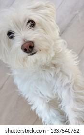 White puppy maltese dog inside
