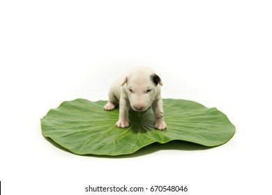 White puppy on the lotus leaf