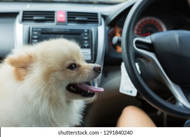 white puppy pomeranian dog cute pet smile happy in car