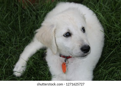 White puppy resting in the grass