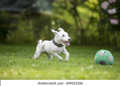 White puppy running like crazy outdoors. The dog breed is Parson russell terrier.