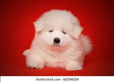 White Puppy of Samoyed Dog on Red Background.