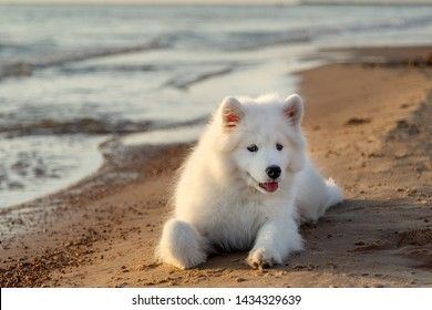 White puppy samoyed husky lying near the sea on the sand in the rays of sunset