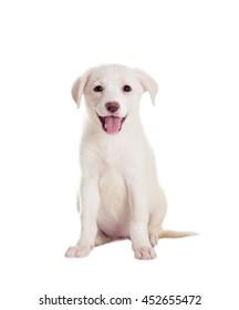 white puppy watching