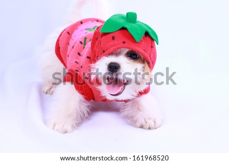 White  puppy wearing a red shirt. isolated on a white background .