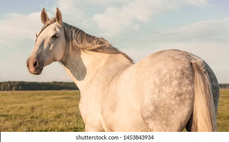 White pure spanish horse looking into the distance standing in the pasture on windy summer evening. Animal portrait, view from the back.