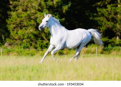 White purebred horse having a great time running on grass field.
