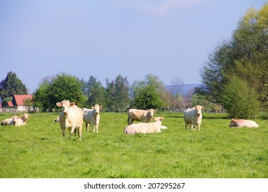 White purebred Normandy cows on summer pasture