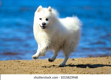 White purebred pedigreed japanese spitz running on the sea sandy beach with background of blue ocean water. Smiling fur fluffy family pet spitz smiling and runing fast outdoors on sunny summer day