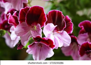 """White and purple blooming geraniums.Geranium Grandiflorum, Regal Geranium """"Elegance Jeanette"""""""