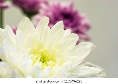 White and purple chrysanthemum on grey background. Close-up shot.