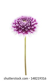 white and purple coloured dahlia isolated on white background