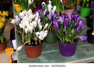 white and purple crocuses in the pots in a market