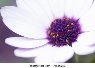 White and purple daisy detail