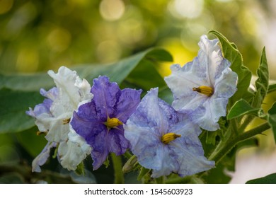 White and purple flowers of Eggplant tree with bokeh background.