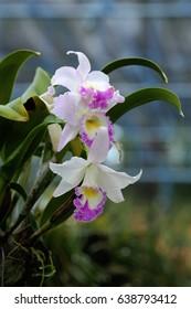 White, Purple hybrid Cattleya orchid in garden, Thailand.