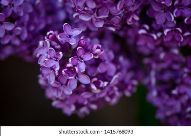 white and purple lilac, spring