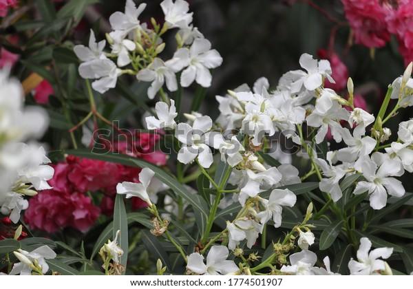 white-purple-nerium-oleander-flowers-600