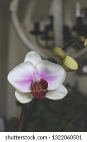 White and purple orchid.