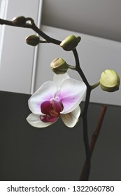 White and purple orchid blooming in a windowsill.