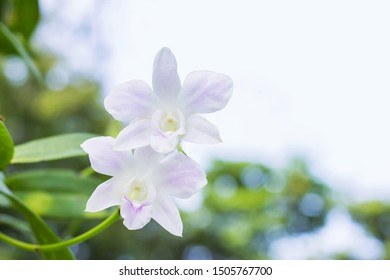 White Purple orchids - Tropical orchids - symbol of thai flower