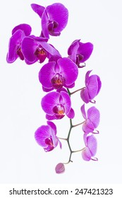 White and purple Phalaenopsis orchids and bud close up