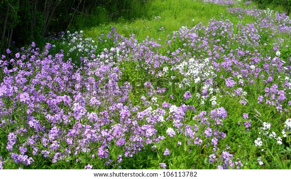 White and purple wildflowers on a meadow in summer