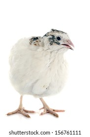 white quail in front of white background
