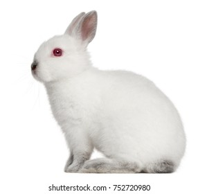 White Rabbit, 4 months old, sitting in front of white background