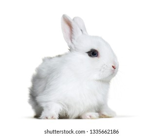 White rabbit, 8 weeks old, in front of white background
