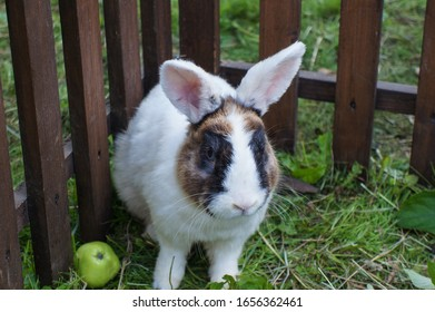 White rabbit with black spots around the eyes, ears up, sitting against the background of the fence and grass, near the apple.
