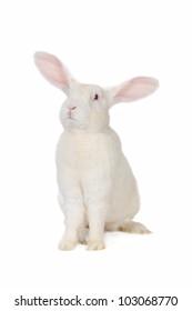 white rabbit with blue eyes