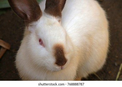 WHITE RABBIT WITH BROWN MARKINGS