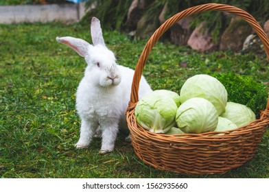 white rabbit and cabbage in wet weather garden