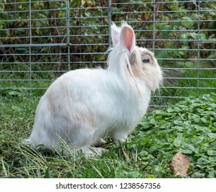 a white rabbit in a garden behind a fence