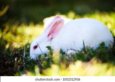 White rabbit in the garden. Fluffy Bunny on green grass, spring time.