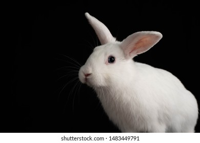 White Rabbit Isolated on a Black Background. Portrait of a White Rabbit with Blue Eyes.