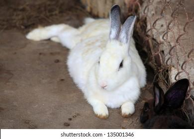 White rabbit lay on the floor