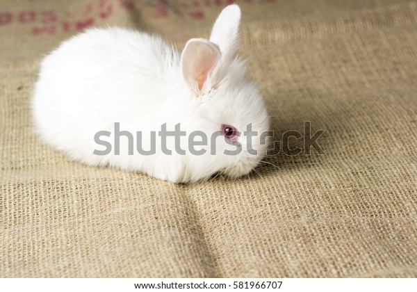 White Rabbit on Burlap Texture Background. Cute Red Eye Bunny.